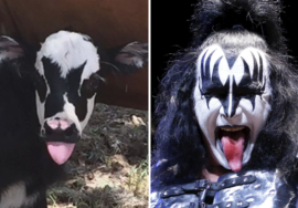 Essa vaca é a cara do vocalista do Kiss
